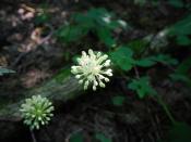 Wild Leek (Allium tricoccum)