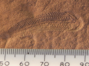 Spriggina may be one of the predators that led to the demise of the Ediacaran fauna