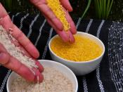 English: Golden Rice grain compared to white rice grain in screenhouse of Golden Rice plants.