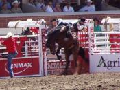 Some horses are chosen for use in rodeos, due to their especially powerful, back-cracking bucks.