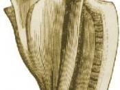 A drawing of the shell of Strombus alatus, the Florida fighting conch