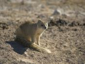 Cynictis penicillata bradfieldi Cynictis penicillata at Namibian Biodiversity Database Roberts 1924 Afrikaans: 'n Rooimeerkat in die weste van die Etoshawildtuin, Namibië. Die soort is endemies aan suider-Afrika, tot so vêr as suid-Angola. Die gryserige p