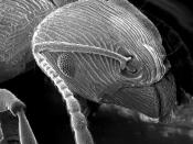 An ant as imaged using a scanning electron microscope (SEM)