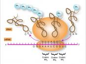 English: Interaction of mRNA at the ribosomal level to produce strings of amino acids or proteins.