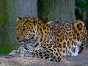 English: Amur leopard in captivity