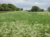 English: Grass field with cow parsley by the Wing Road A worker from a nearby farm came over when he saw me taking photos, partly because there had recently been a bad accident on the road and he thought I was an accident investigator. When I asked if he
