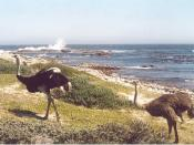 English: Ostriches at the Cape of Good Hope, South Africa