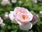 Rose, The Prioress, バラ, ザ プライオレス,