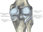 Capsule of right knee-joint (distended). Posterior aspect.
