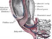 Model of human embryo 1.3 mm. long.