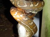 A carpet snake (Morelia spilota variegata) eating a chicken