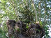 English: Yew in Black Poplar The crown of the heavily pollarded Black Poplar has collected enough leaf litter, etc to produce a suitable soil for this Yew tree to thrive. the branches on the road side of the poplar have been cut early to protect an overhe