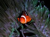 Amphiprion ocellaris (Clown anemonefish) in Heteractis magnifica (Sea anemone) Français : Un poisson-clown à trois bandes (Amphiprion ocellaris) dans une anémone de mer (Heteractis magnifica).