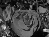 february 2005 black&white b&w rose flower
