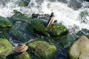 English: duck