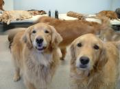 English: Golden Retrievers posing for a photo at Affectionate Pet Care Dog Daycare