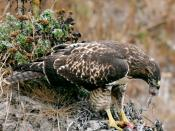 English: Français : Une buse à queue rousse (Buteo jamaicensis) mangeant Microtus californicus, un campagnol d'amérique du nord. http://www.flickr.com/photos/jurvetson/226587515/#comment72157594258725735 Svenska: