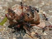 English: Meat-eater ants (Iridomyrmex purpureus) working cooperatively to devour a cicada (possibly Psaltoda moerens however damage to the victim makes a definite identification difficult to confirm). The cicada is approximately 60-70mm long, the ants are