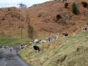 Sheep near Greenholme Farm - geograph.org.uk - 1800945