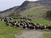A herd of Herdwick sheep in Cumbria.