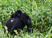 English: Mountain gorillas in Virunga National Park DR Congo
