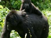 Gorilla Tracking - 20