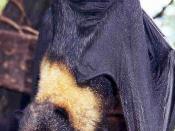 Mariana Fruit Bat Pteropus mariannus
