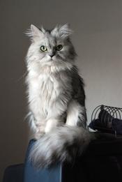 Doll face silver Persian cat