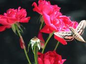 White-lined sphinx moth pokes at our roses