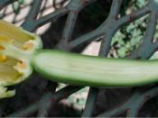 Longitudinal section of female flower of squash (courgette), showing ovary, ovules, pistil, and petals