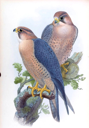 Peregrine Falcon, (Red-capped Falcon) Falco peregrinus babylonicus Sclater