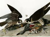 Peregrine Falcons, illustration by John James Audubon