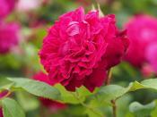 Rose, William Shakespeare, バラ, ウィリアム シェイクスピア,