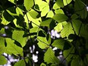 Chlorophyll gives leaves their green color and absorbs light that is used in photosynthesis.