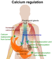English: Overview of calcium regulation (See Wikipedia:Calcium in biology). To discuss image, please see Talk:Human body diagrams References Page 1094 (The Parathyroid Glands and Vitamin D) in: Walter F., PhD. Boron (2003). Medical Physiology: A Cellu