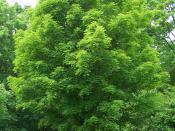 Sugar maple tree, Acer saccharum. Specimen at Morton Arboretum, Lisle, Illinois. Accession 258-78-1.