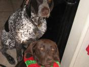 English: Bartleby, 7 year old German Shorthaired Pointer, from Minado's kennel in San Diego, CA; Buttercup, 6 month old German Shorthaired Puppy, from To the Point GSP Rescue in Tucson, AZ.