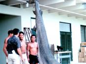 14-foot, 1200 pound tiger shark caught in Kaneohe Bay, Oahu, Hawaii.
