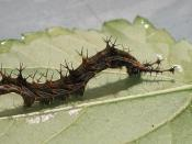 English: Captive raised Eurytela dryope larva from Athlone Park, Amanzimtoti, South Africa.
