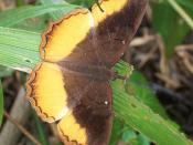English: Eurytela dryope from Ilanda Wilds, Amanzimtoti, South Africa.