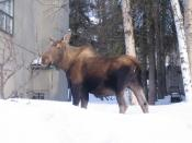 Moose in yard in Anchorage, Alaska