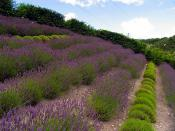 English: The Bee Area: Eden Project. This area of lavenders which has been planted to attract the bees, is south west of the humid biome, in the north eastern section of this square. The biomes cross three squares in all, with the humid biome in this one