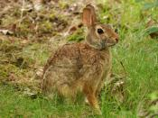 English: An Eastern Cottontail (Sylvilagus floridanus)