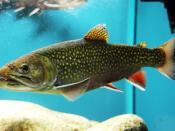 English: Brook trout on exhibition Subaqueous Vltava, Prague 2011, Czech Republic Česky: Siven americký, (Salvelinus fontinalis) na výstavě Pod hladinou Vltavy, Palác Kinských, Staroměstské náměstí, Praha 2011