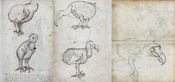 English: Compilation of some of the first depictions of dodods (Raphus cucullatus) on the island Mauritius (Indian Ocean), made during the voyage of the VOC Gelderland in 1602. Français : Dessin d'un Dodo (Raphus cucullatus) sur l'île Maurice (Océan indie