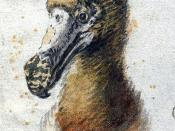 Painting of a dodo head by Cornelis Saftleven (1607-1681) from 1638, which may be one of the last illustrations made of a live dodo. It is housed at Boijmans Museum in Rotterdam.