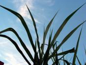 Sugar cane residue can be used as a biofuel