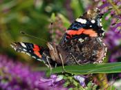 A Red Admitalty butterfly (Vanessa atalanta)