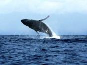 English: The Beautiful Humpback Whales off the Beaches of Maui,HI
