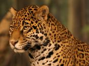 English: A portrait of a jaguar (Panthera onca) at the Milwaukee County Zoological Gardens in Milwaukee, Wisconsin.